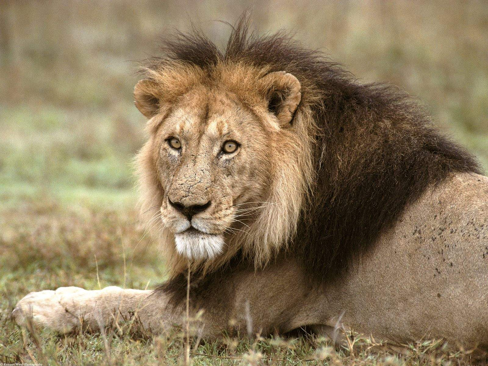 and White Wallpapers African Lion Tanzania Africa   Lion Wallpaper 1600x1200