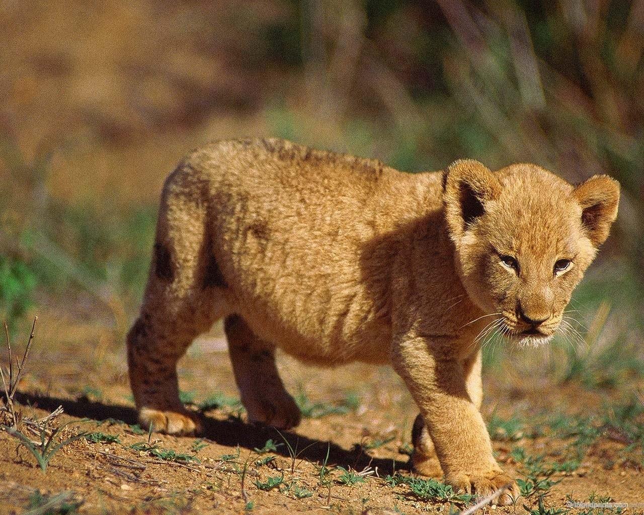 Cute Lion Cubs Wallpaper Wallpapersafari