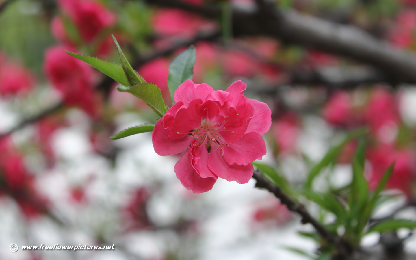 peach blossoms wallpaper - photo #21