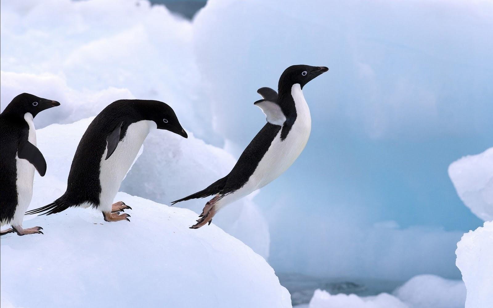 Adelie penguin wallpaper Gallery 1600x1000
