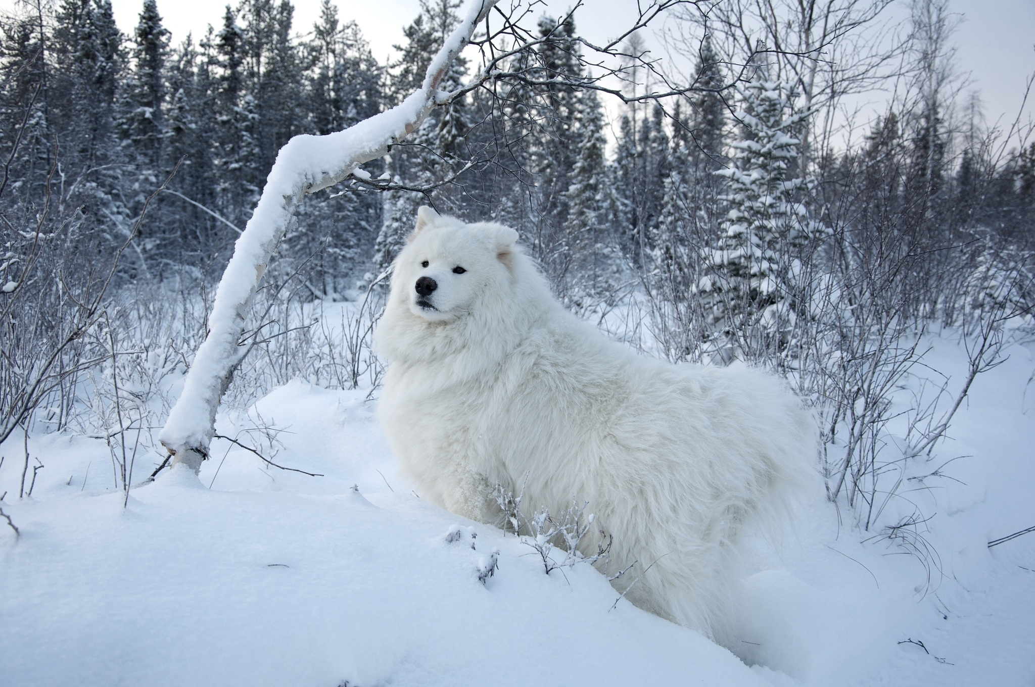 40 Samoyed HD Wallpapers Background Images 2048x1360