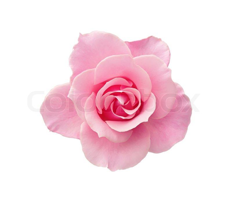 Pink Rose White Background - WallpaperSafari