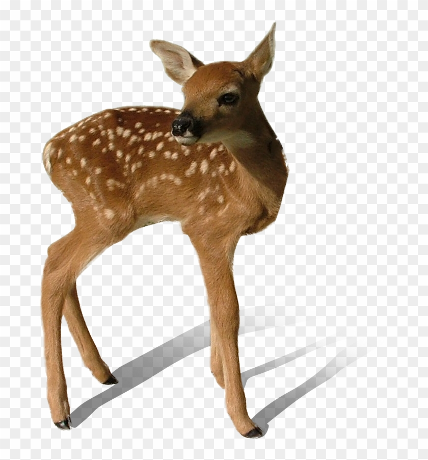 Transparent Deer Png   White Tailed Deer Fawn Transparent 840x902
