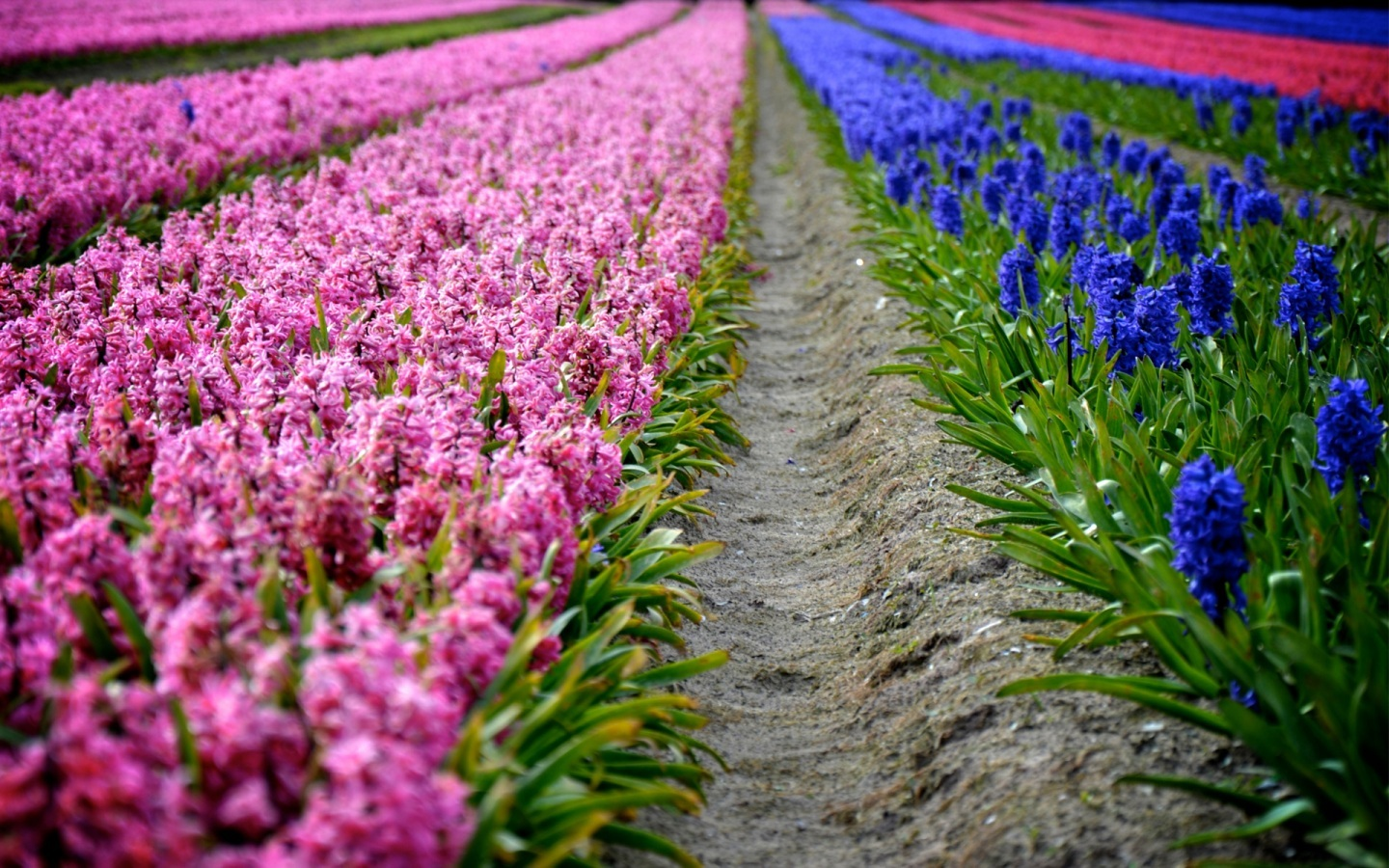 Spring Flowers Plantation Rows Hd Wallpapers High Definition 1440x900