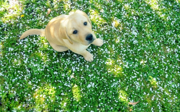 labrador retriever parts spring 2560x1600 wallpaper Dogs Wallpaper 600x375