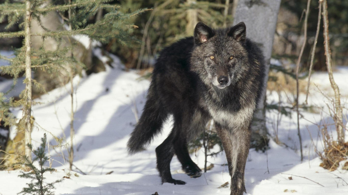 download black gray wolf wallpaper in animals wallpapers with all 1366x768