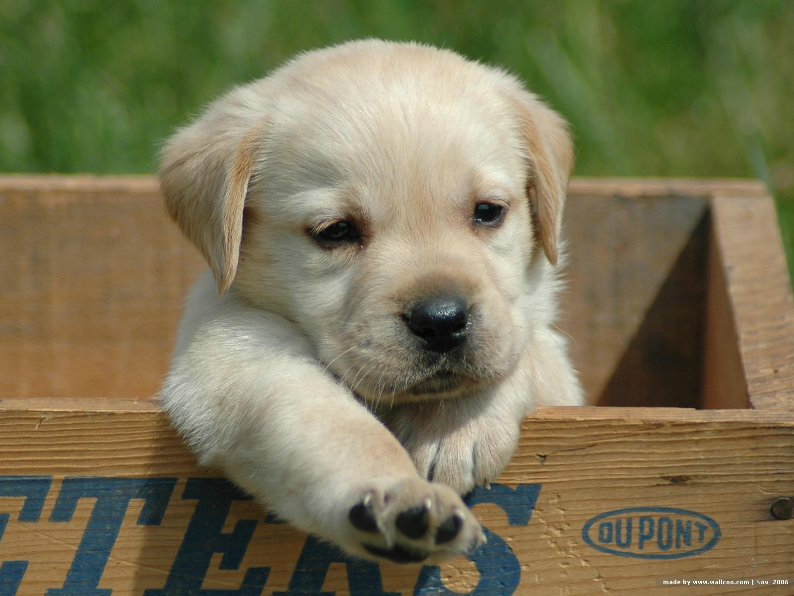 Labrador Retriever puppy photo and wallpaper Beautiful Cute Labrador 1600x1200