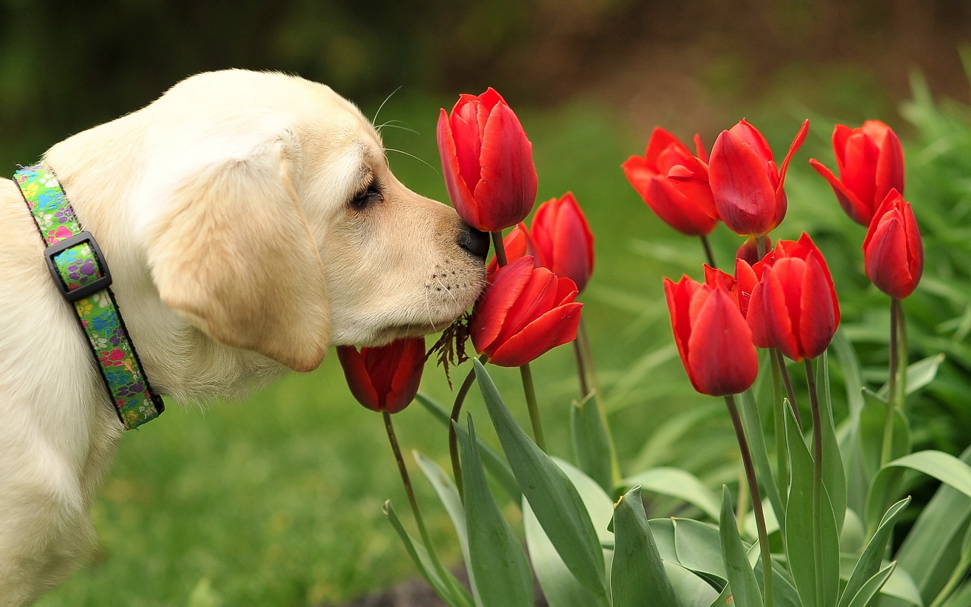 Dog and red tulips 1920 x 1200 Animals Photography MIRIADNA 1920x1200