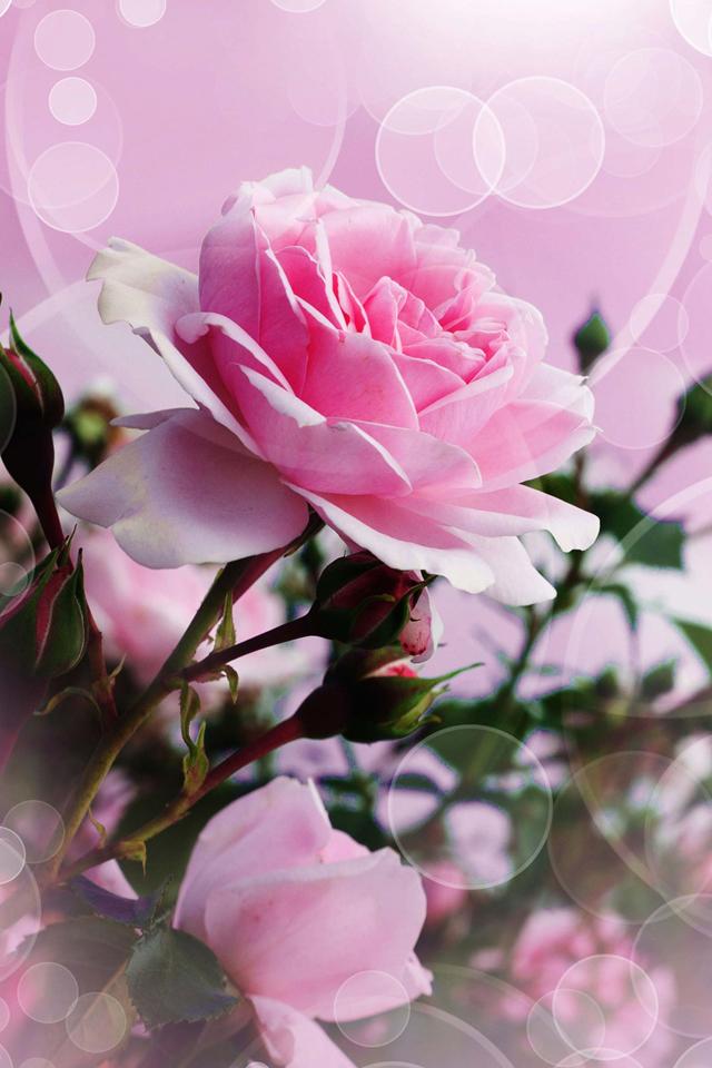 Iphone Pink Rose Wallpaper Hd