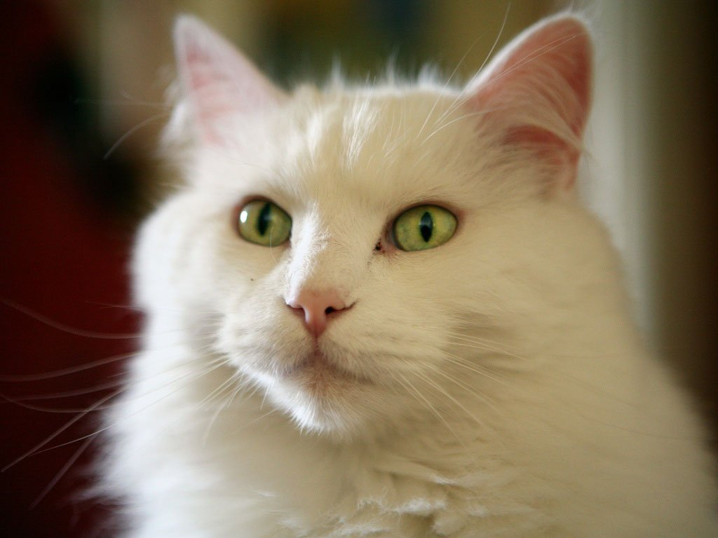 Images For Beautiful White Cute Cat Pictures Photos Wallpapers 1024x768