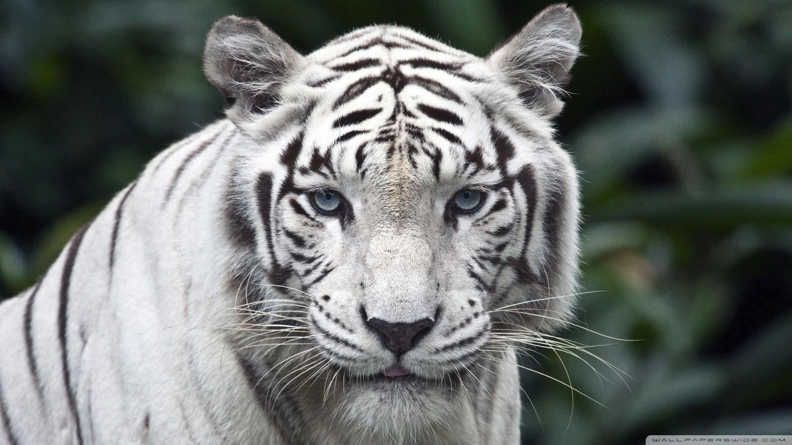 HD Wallpapers White Tiger HD Wallpaper 1080p 1600x900