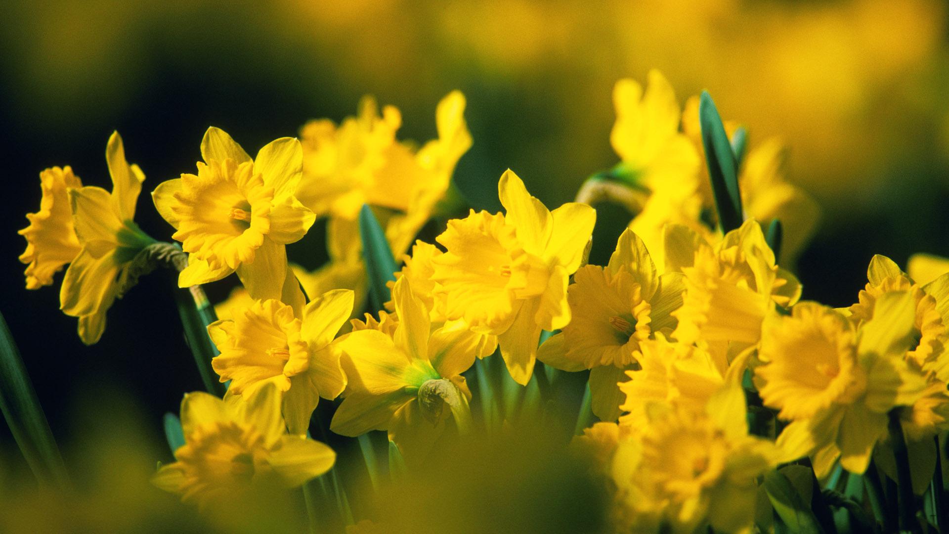 1920x1080px yellow flowers wallpaper wallpapersafari yellow flowers wallpaper mightylinksfo