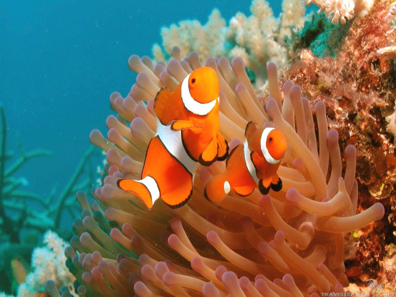 Wallpapers For Download Clown Fish Fish Wallpapers Clownfish Clown 1280x960