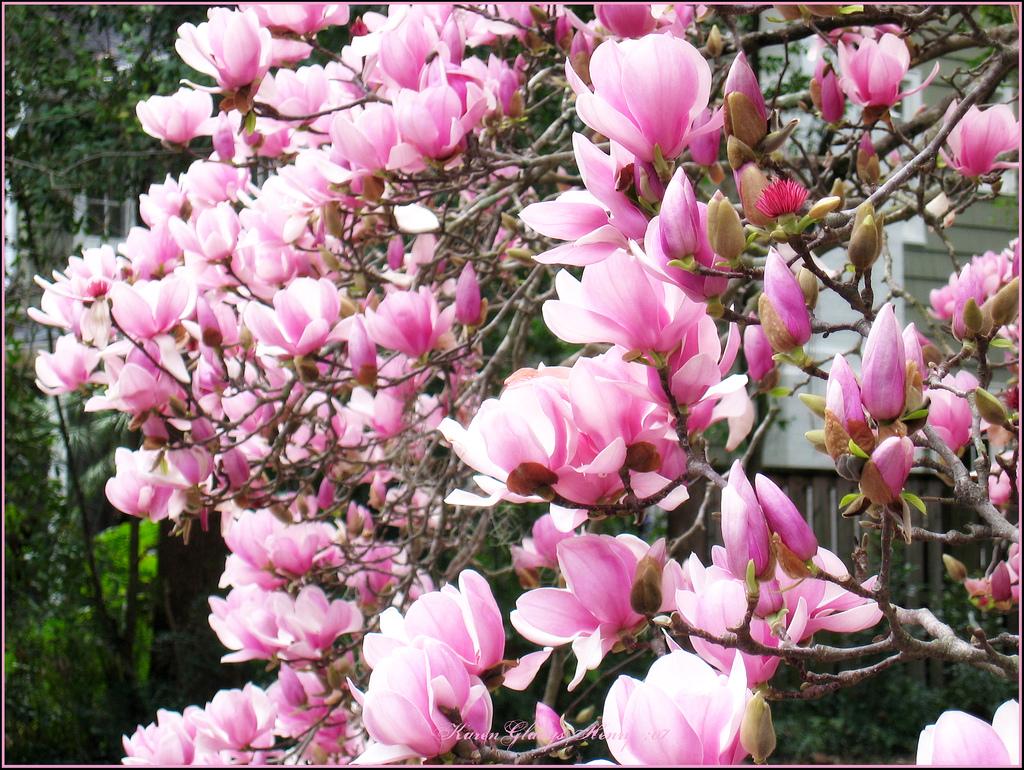 Waverly Magnolia Wallpaper Wallpapersafari