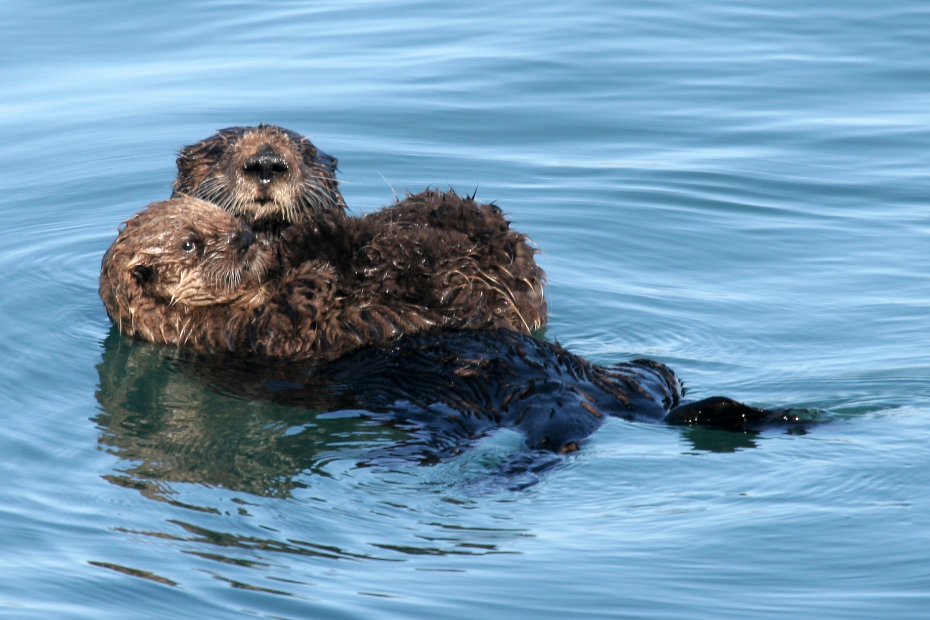 sea otter picture wallpaper sea otter picture download this wallpaper 1838x1225