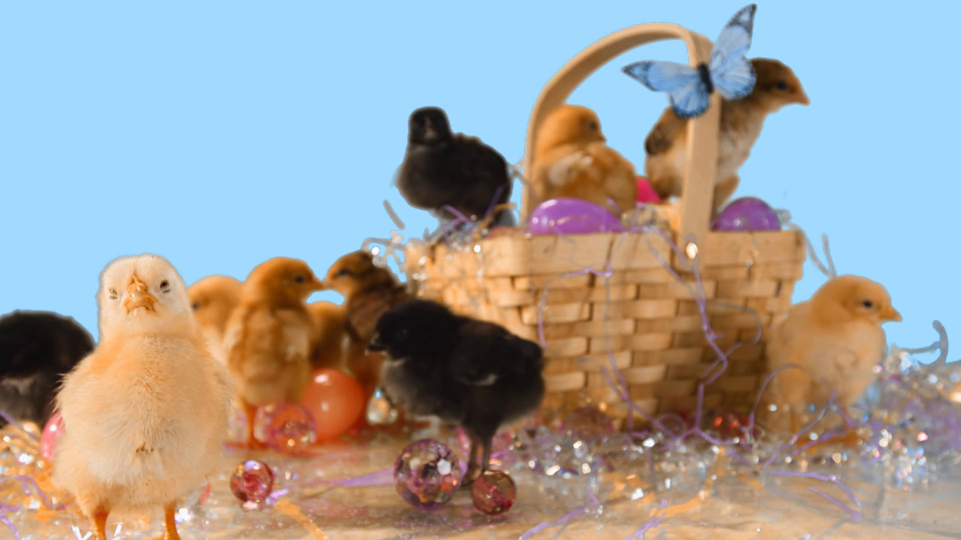 Cute baby chicks in and around Easter basket and Easter eggs Stock 1920x1080