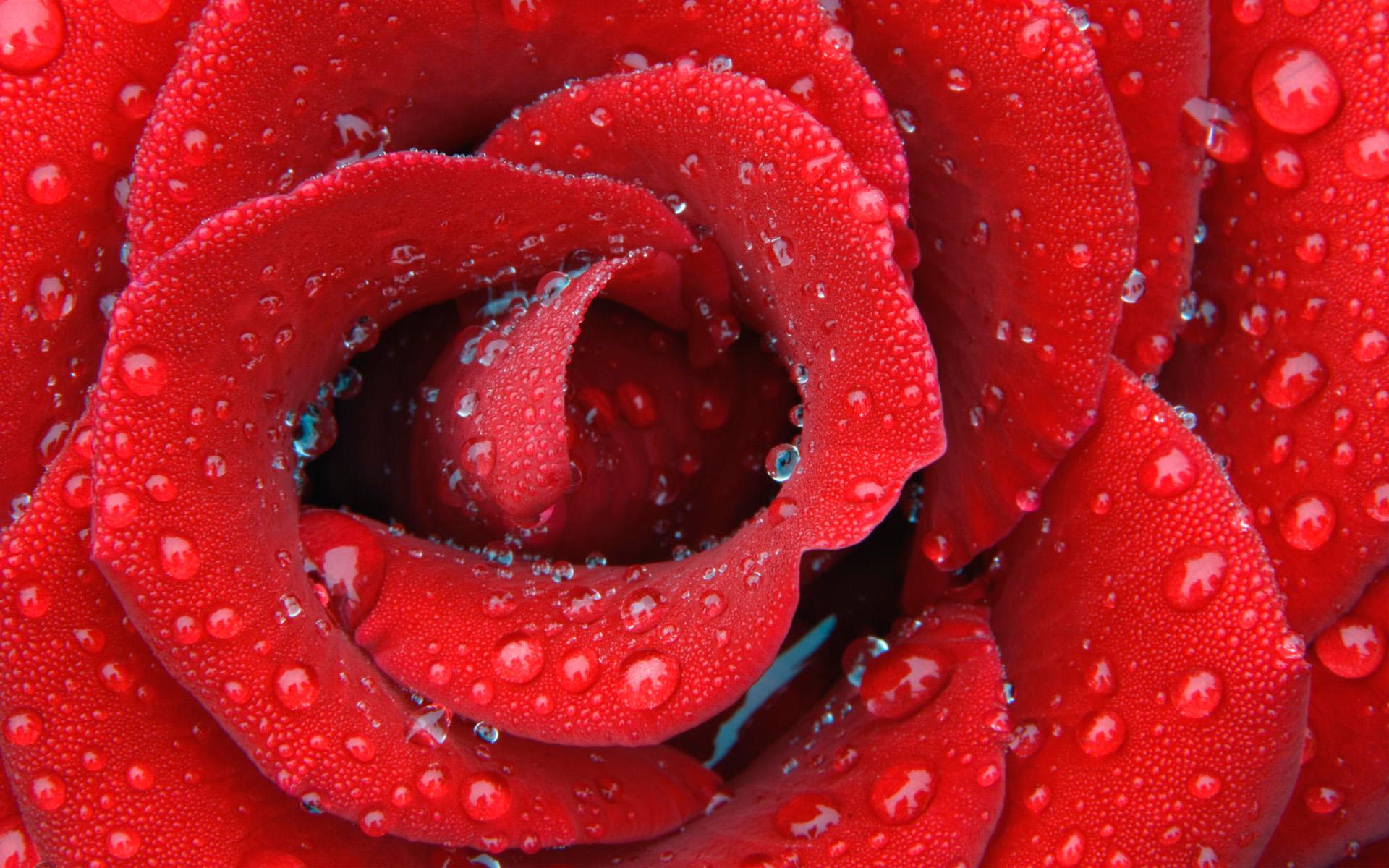 Hd wallpaper rose - Delicate Dewy Rose Wallpapers Hd Wallpapers