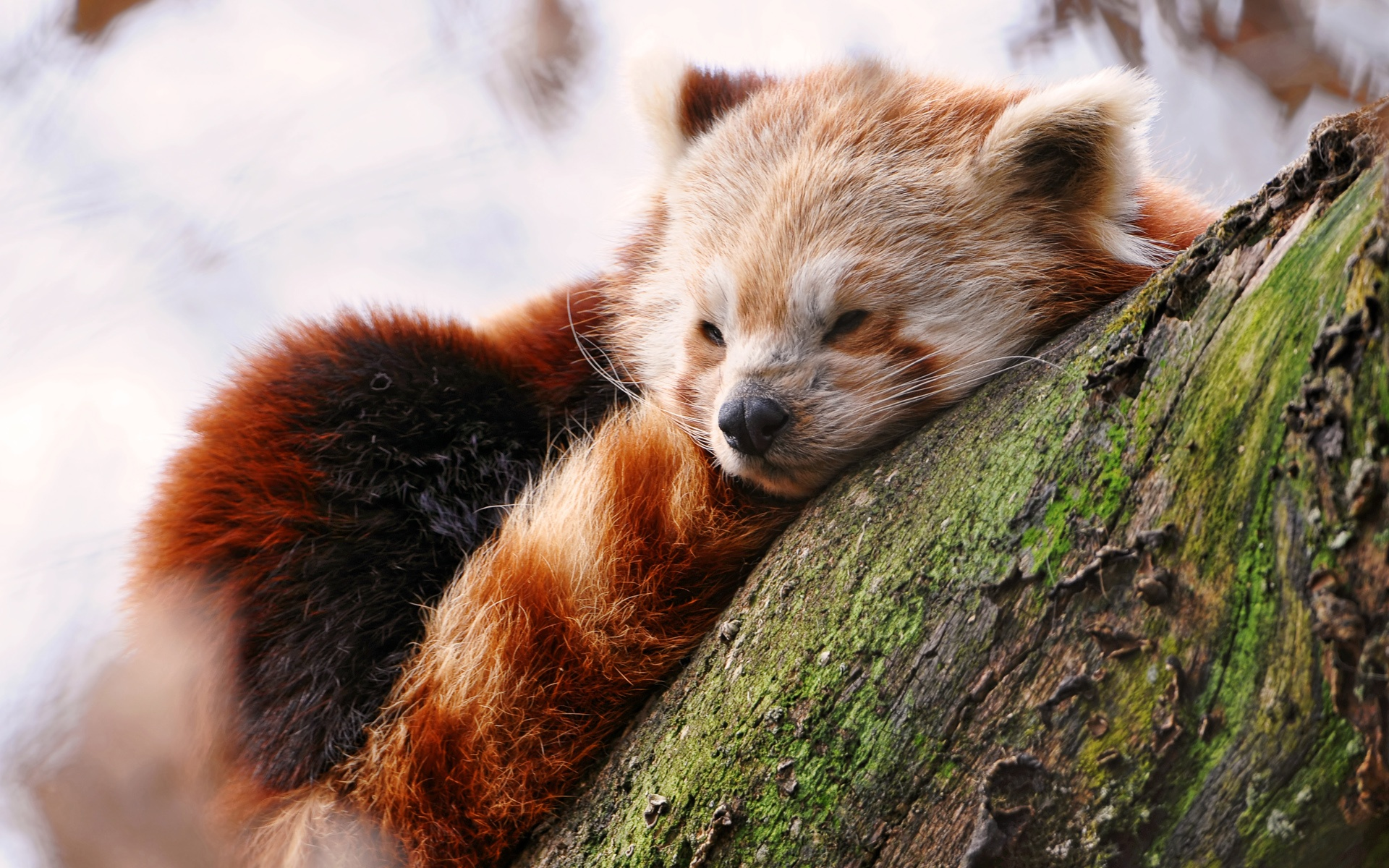 Cute Red Panda wallpaper   756098 1920x1200
