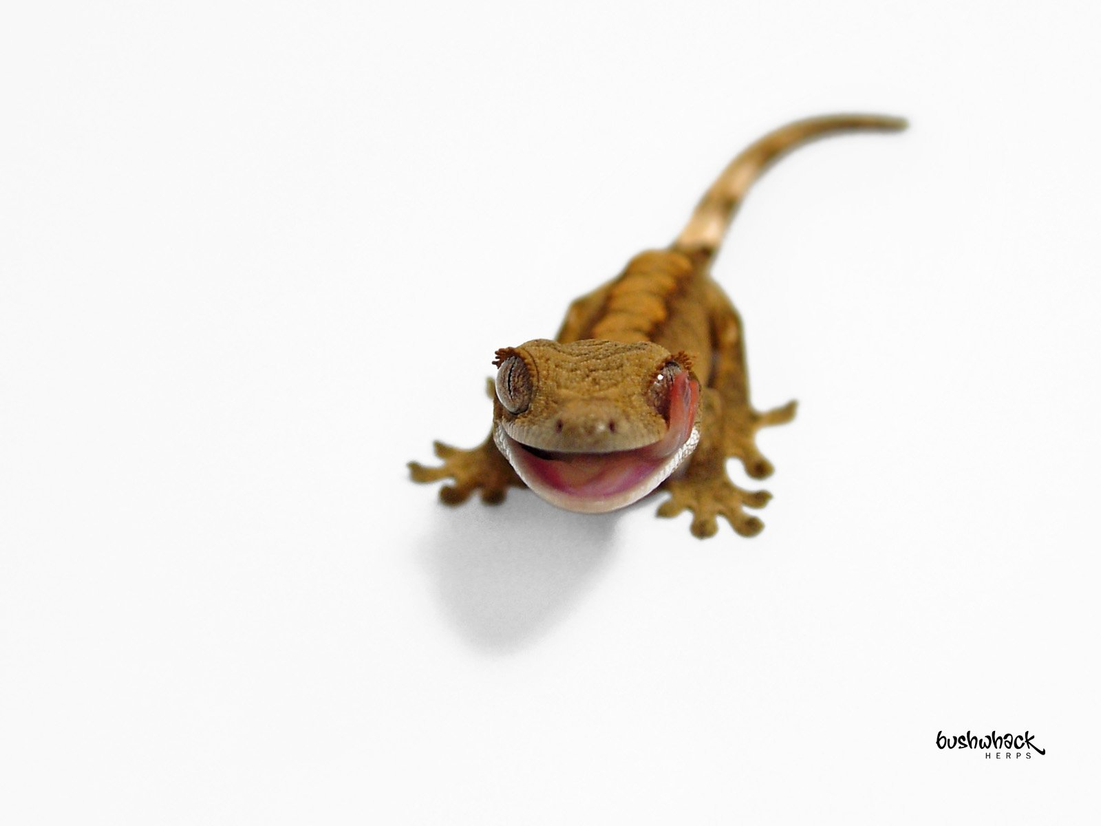 Crested gecko wallpaper wallpapersafari for Crested gecko coloring page