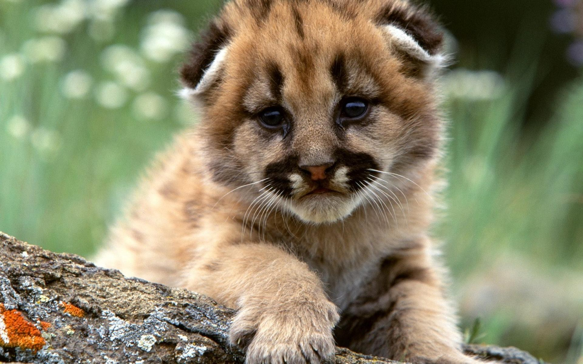 Cute lion cub wallpaper 1920x1200