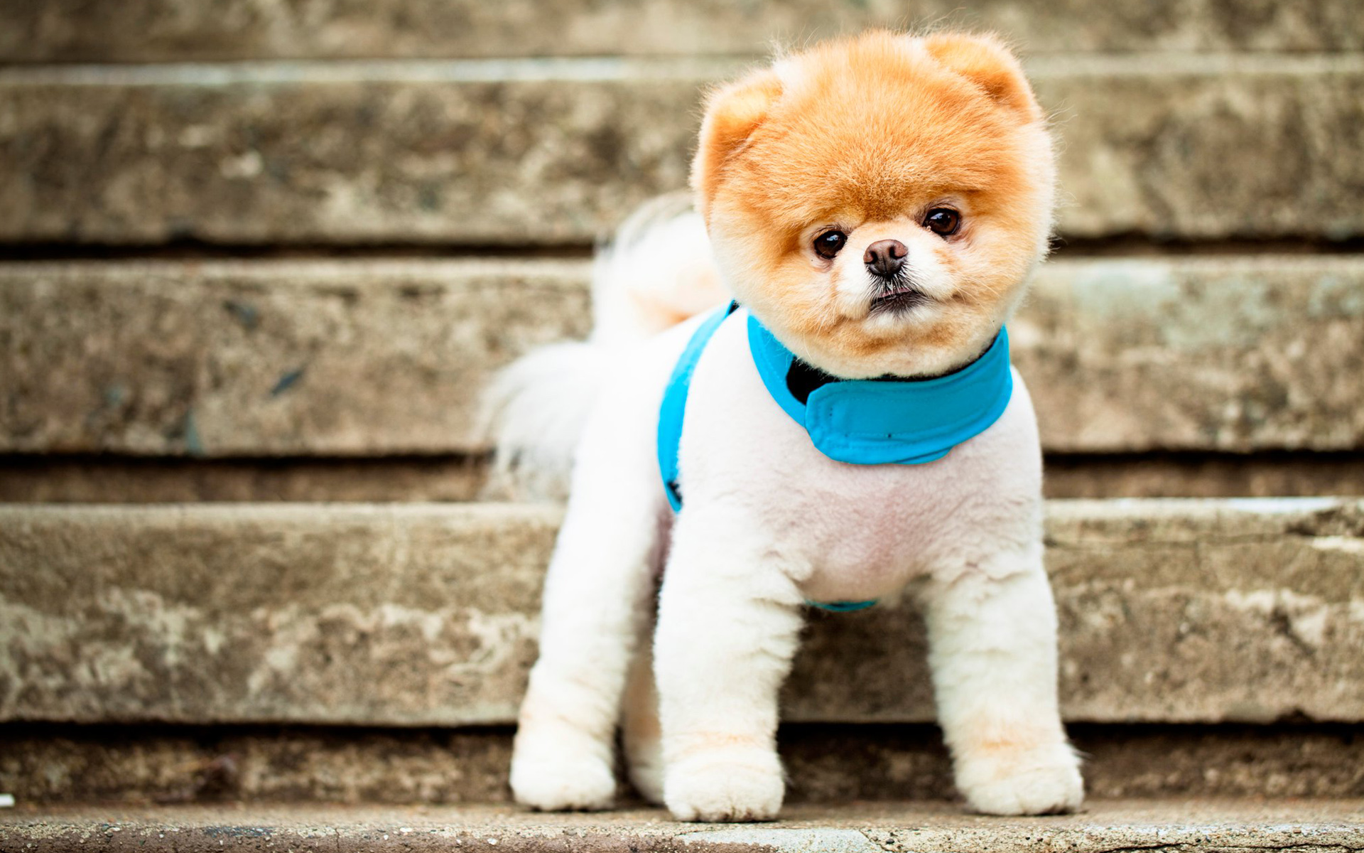 Boo The Cutest Dog Wallpapers HD Wallpapers 1920x1200