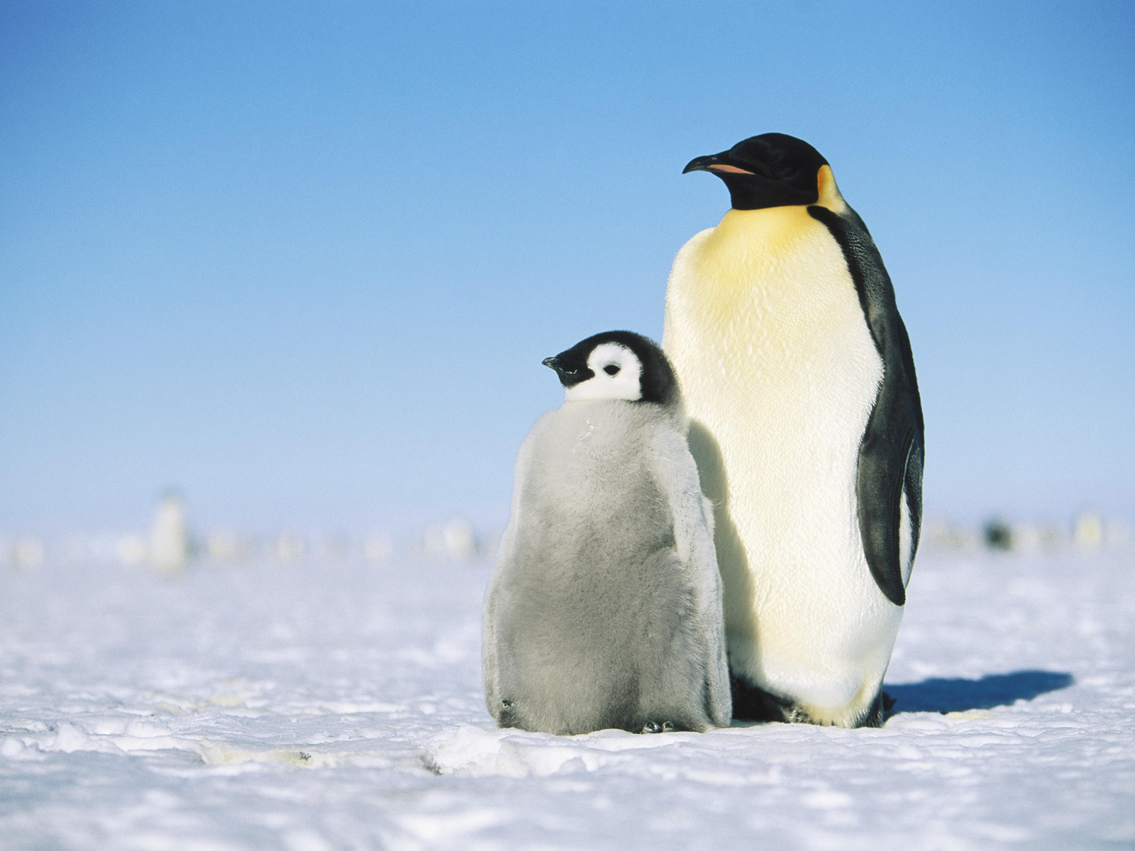 Cute Baby Penguins In Lov HD Wallpaper Background Images 1600x1200