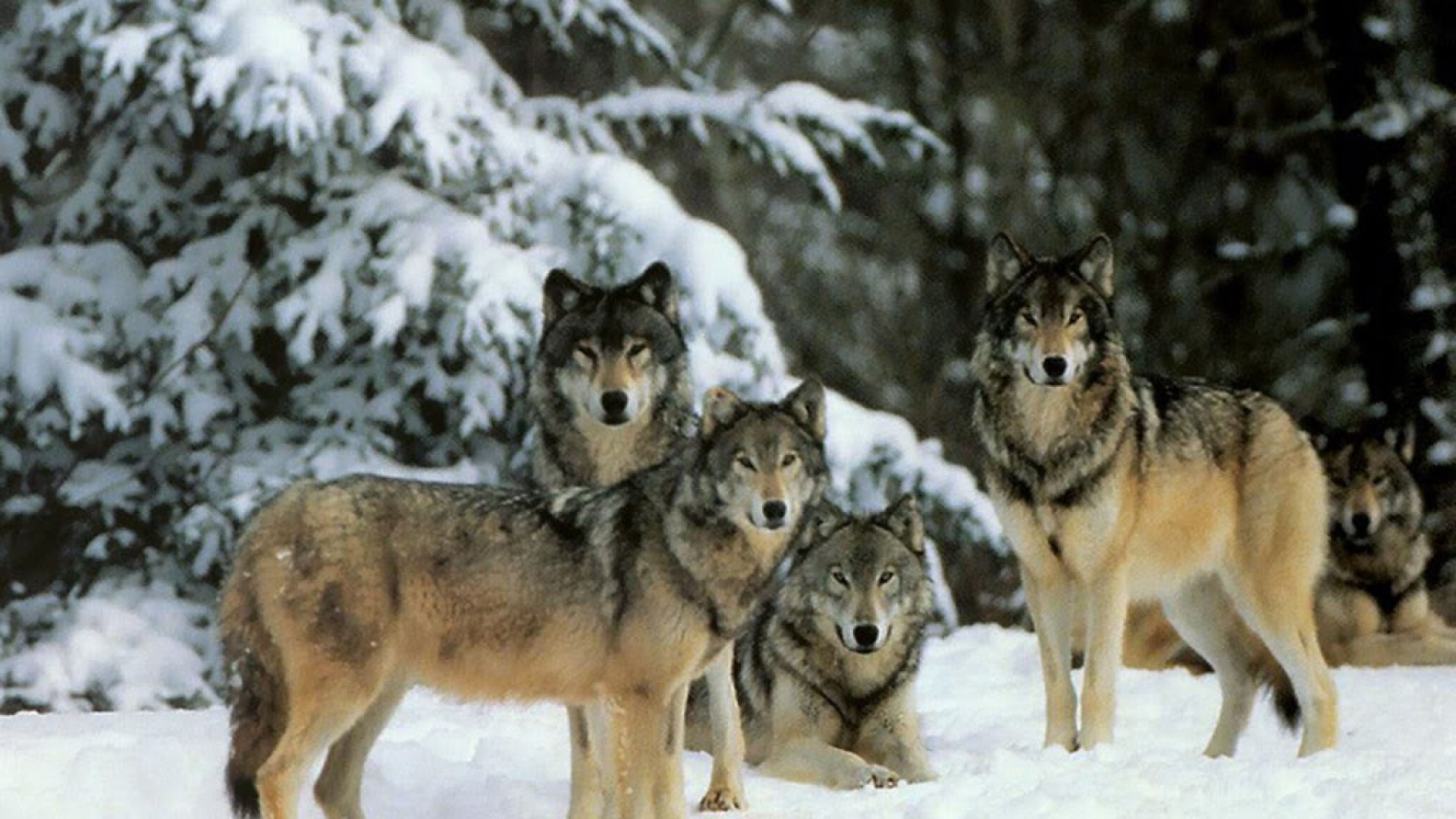 Free Download Wolf Pack Wallpaper Background Flowers Wallpaper 1920x1080 For Your Desktop Mobile Tablet Explore 51 Wolf Pack Desktop Wallpaper Wolf Pack Wallpaper Wolf Pack Desktop Wallpaper Nevada Wolf Pack Wallpaper