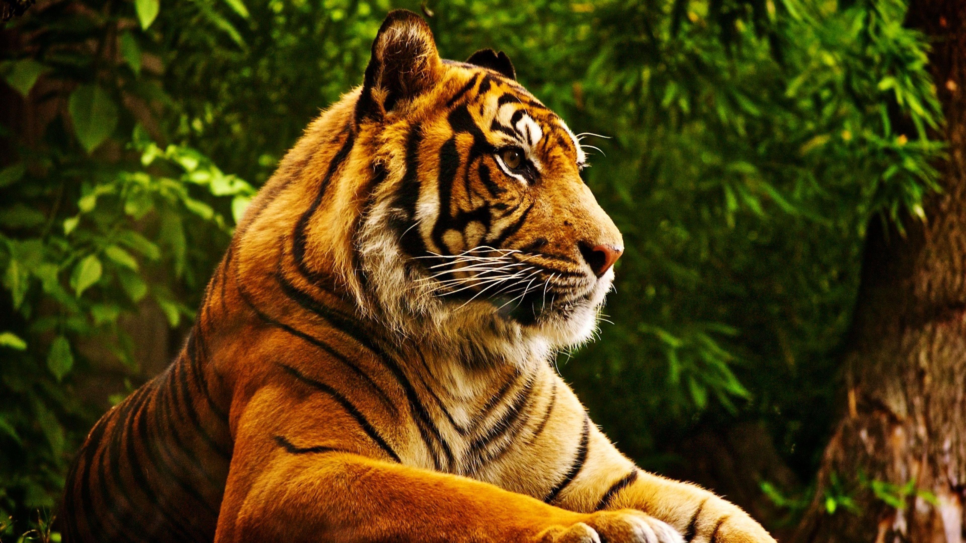Tiger resting Ultra HD wallpaper UHD WallpapersNet 3840x2160