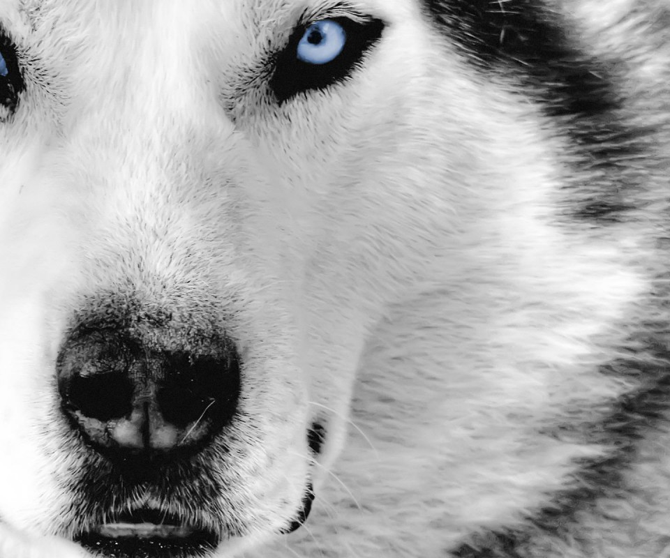 [49+] Free Wolf Wallpapers For Laptops On WallpaperSafari