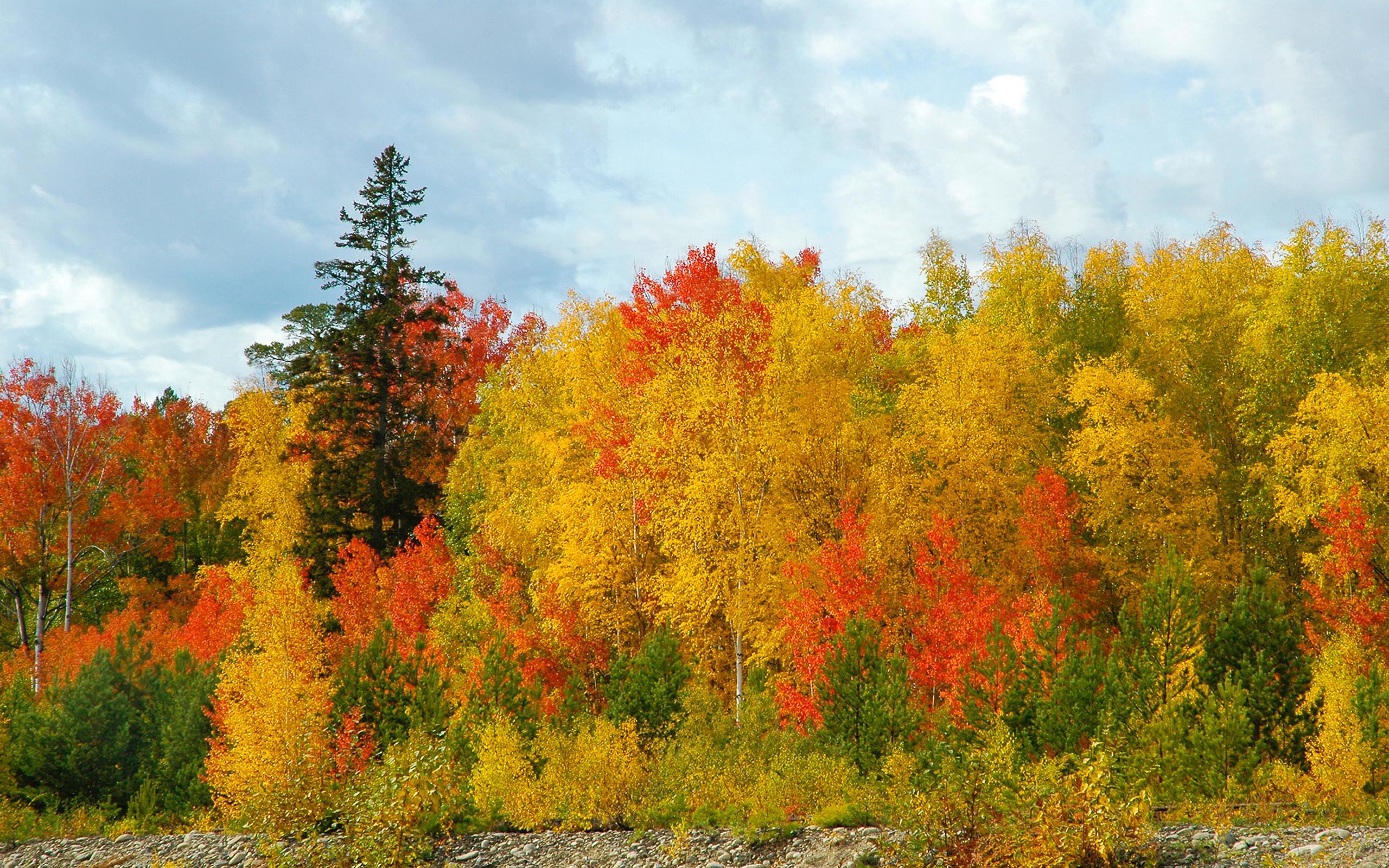 Golden autumn pine trees sky forest birch wallpaper 2560x1600 2560x1600