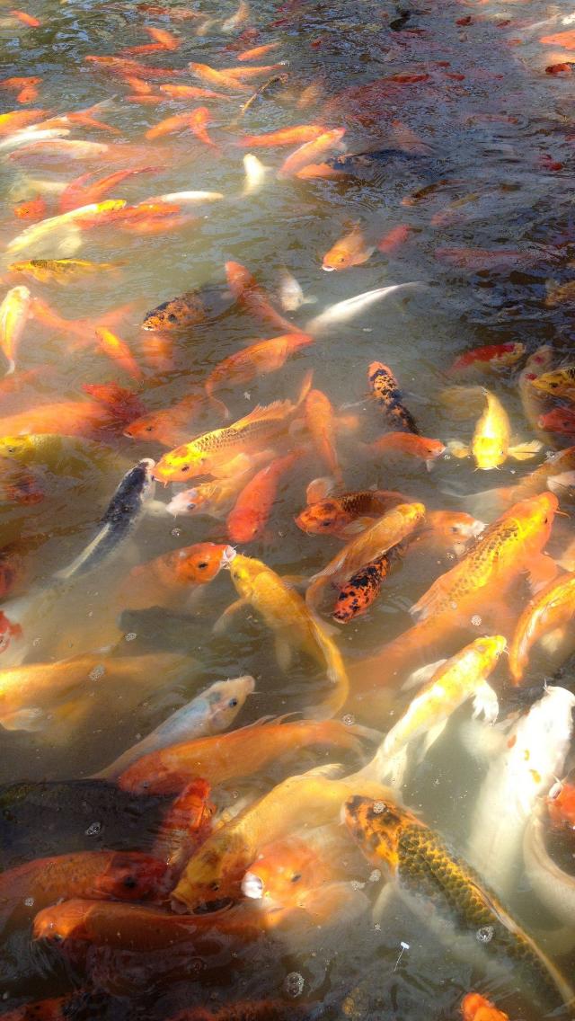 73 koi fish wallpapers on wallpapersafari - Carp wallpaper iphone ...