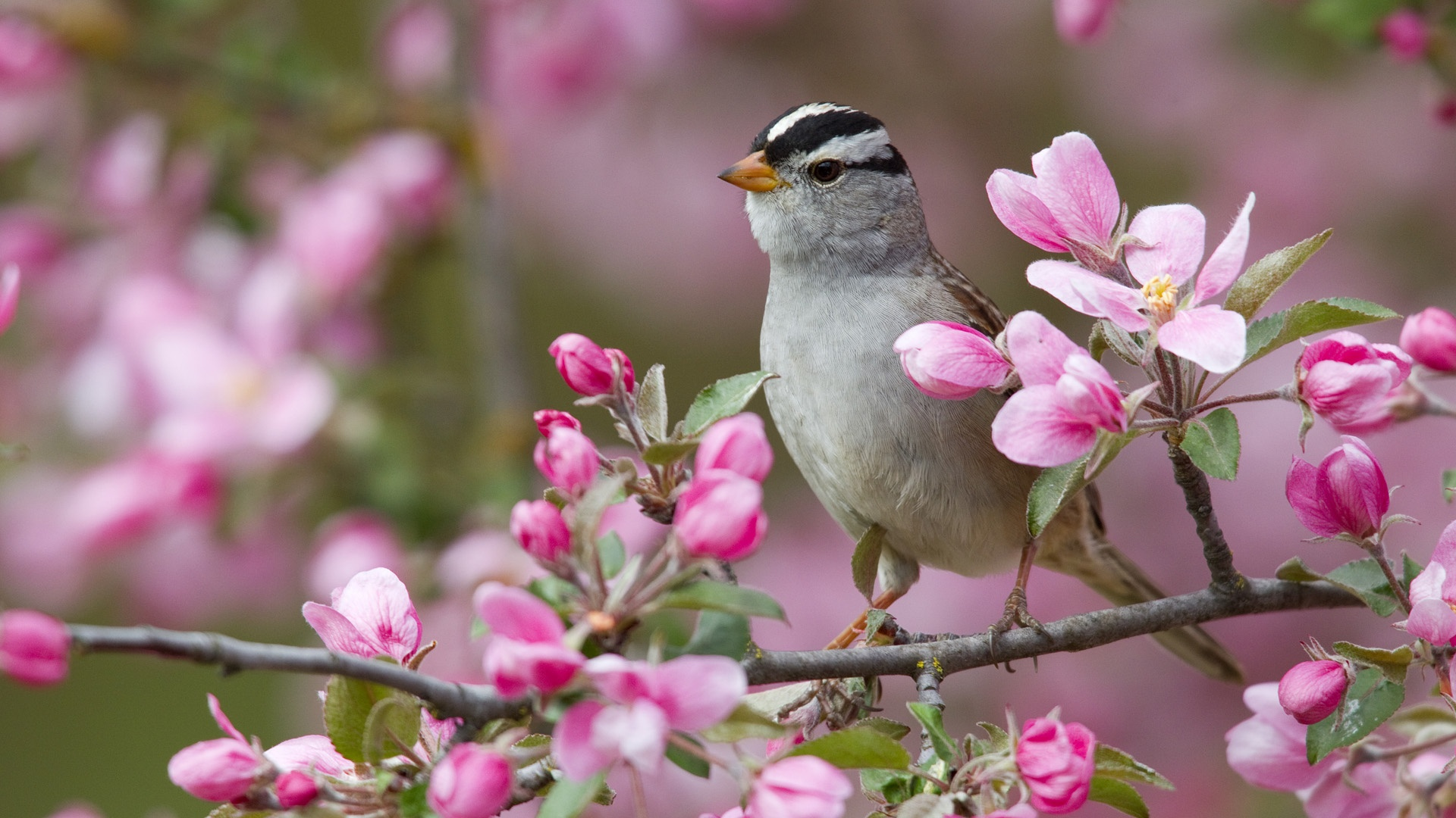 Flowers Branch Sparrow Bird 1920 x 1080 Download Close 1920x1080