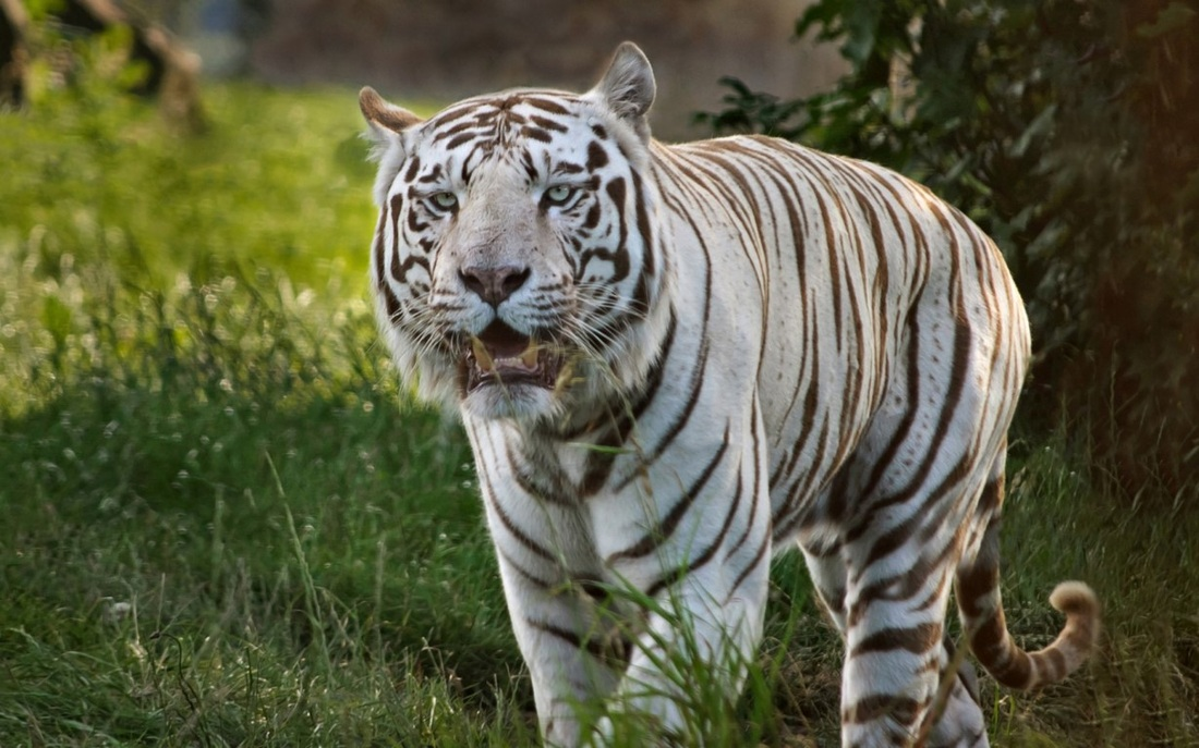 Tiger Wallpaper white animal pictures   Blue wallpaper background 1100x687