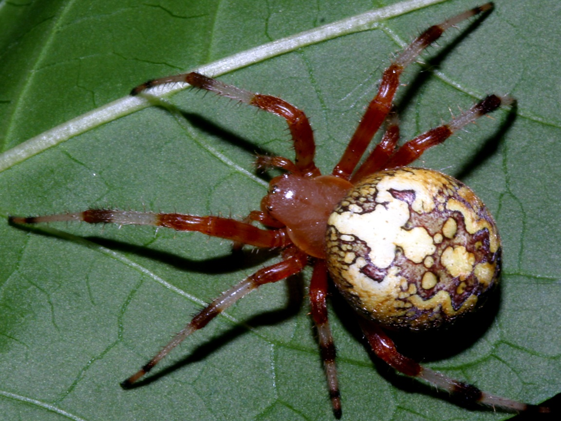 Araneus Spider Wallpaper 1152x864