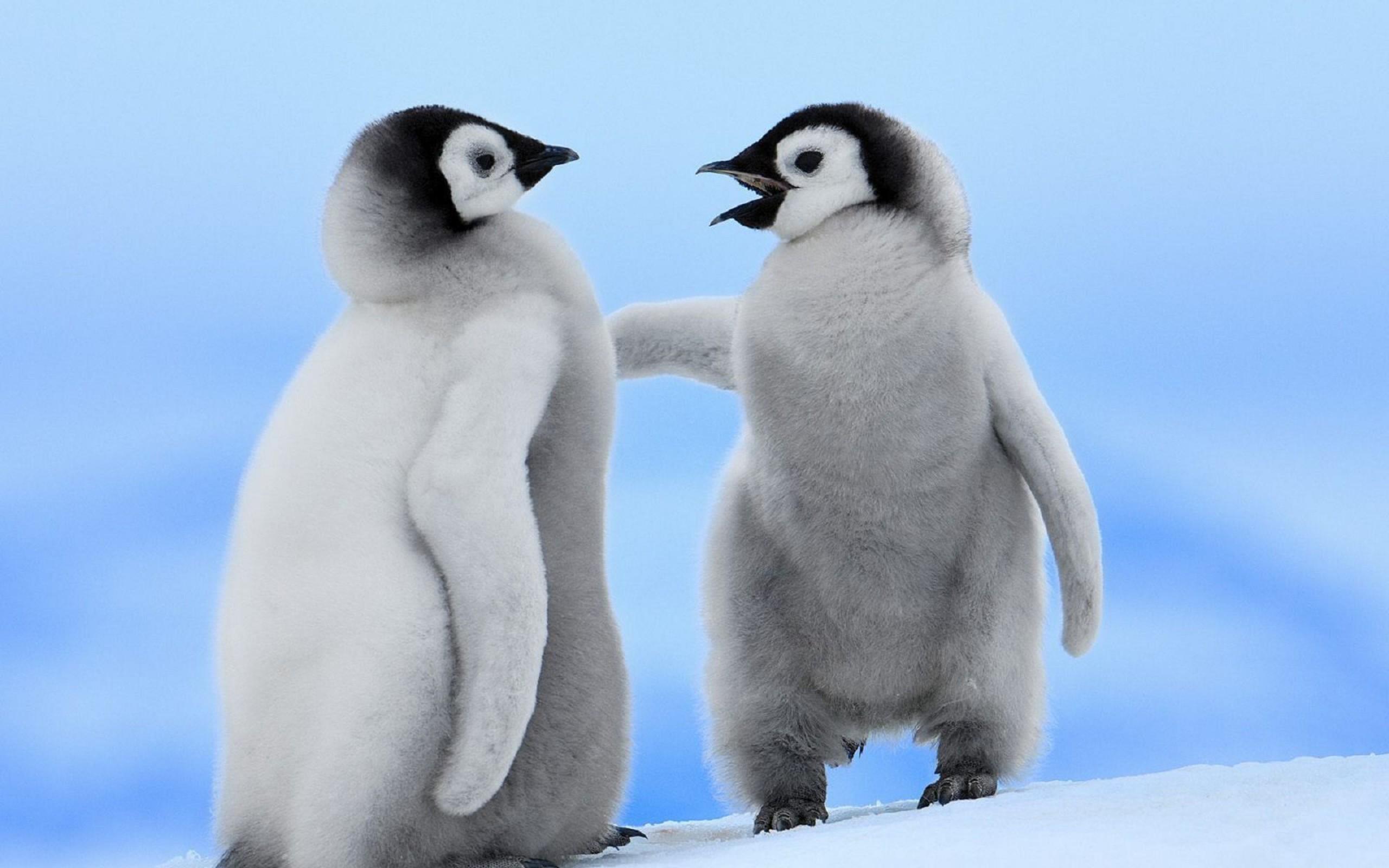 Baby Penguin Wallpaper 55 images 2560x1600
