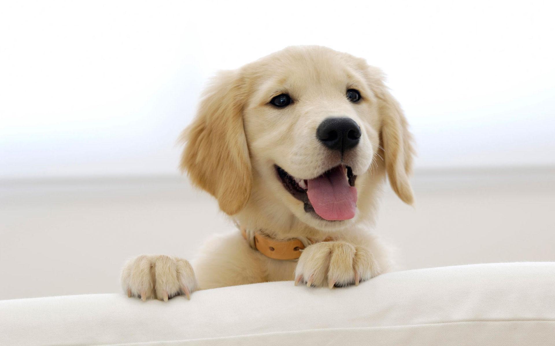 46] Golden Retriever Puppy Wallpaper on WallpaperSafari 1920x1200