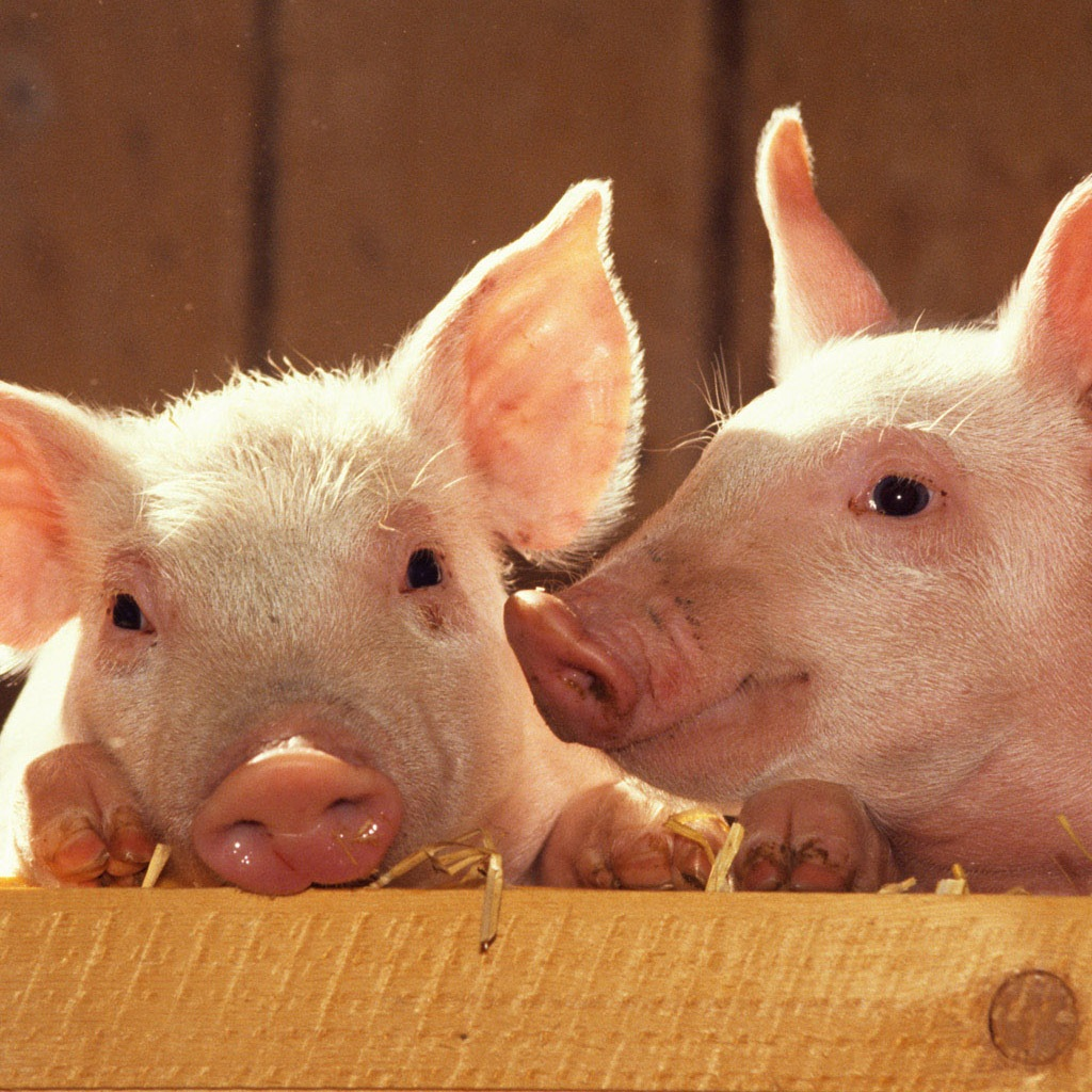 iPad Wallpaper search terms pictures of pigs 1024x1024