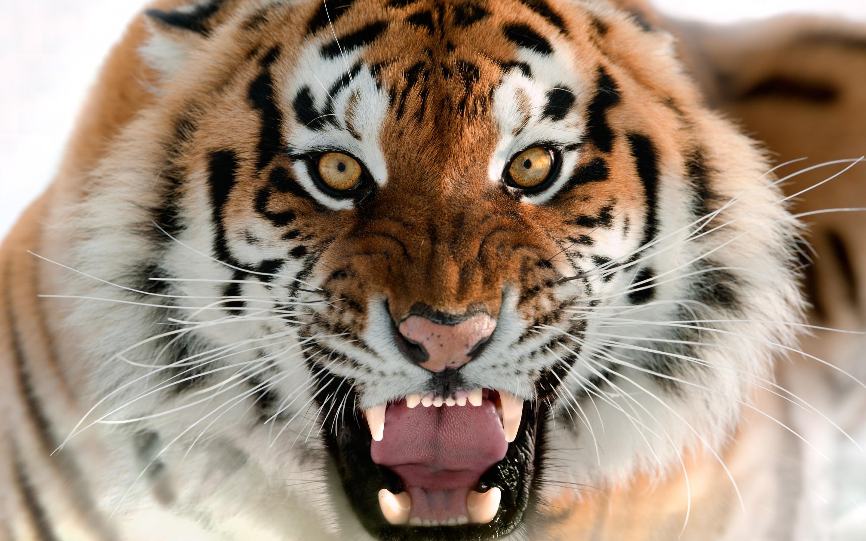 Tiger Wallpaper Screensaver Animals 10872 Wallpaper Cool 2880x1800