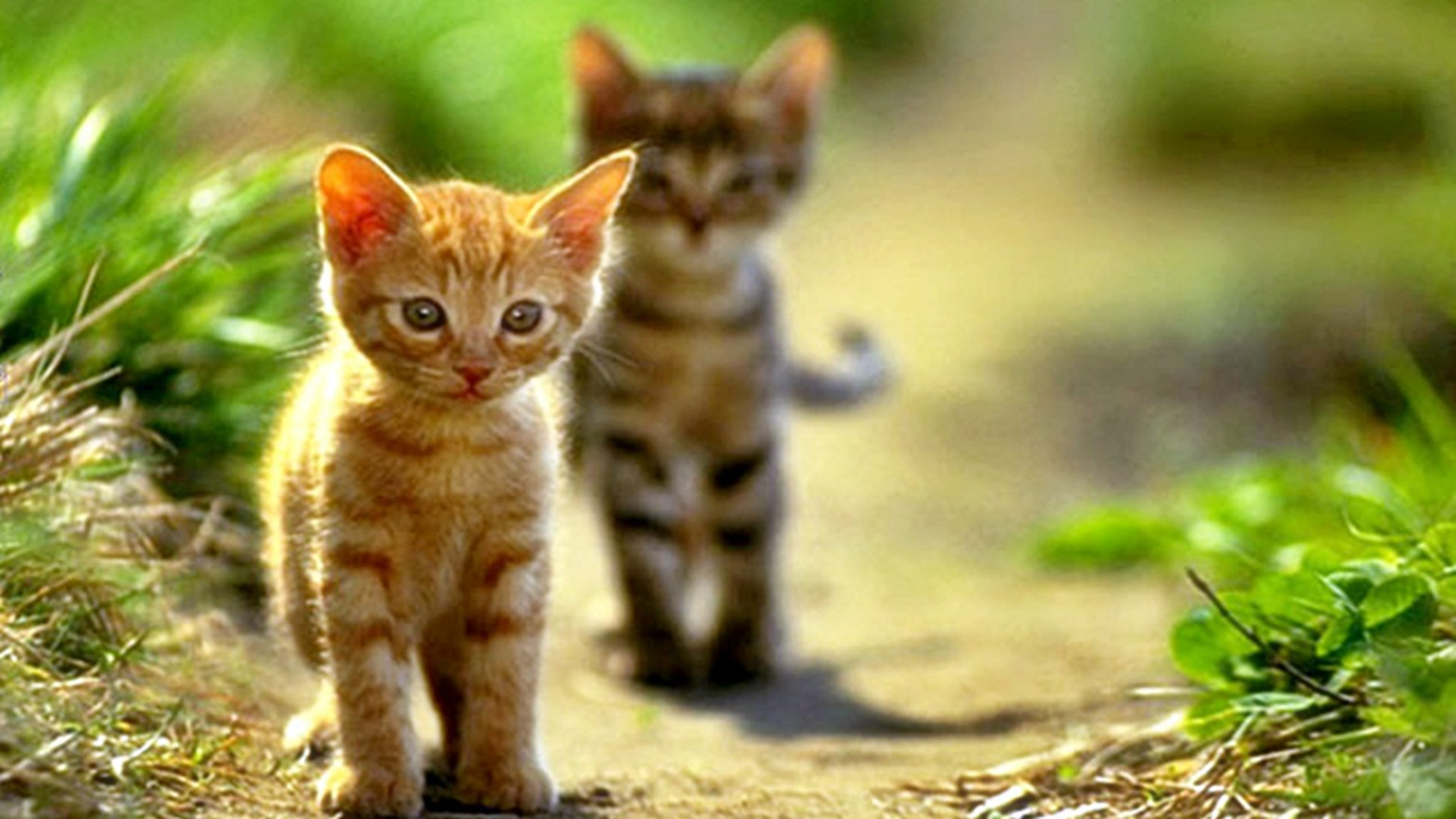 Cute Cats Pictures And Wallpapers   Dat Nature 1366x768